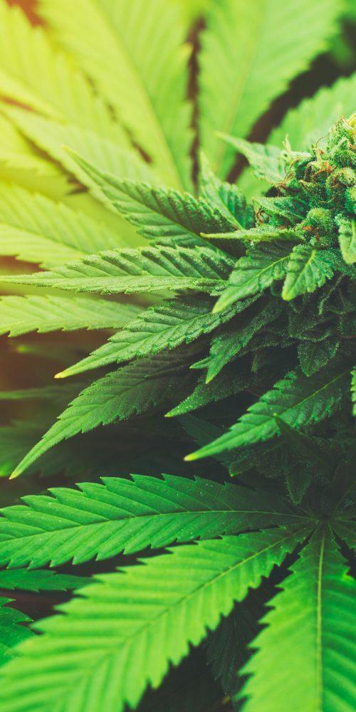 Marijuana Plant Budding Outdoors at Sunset